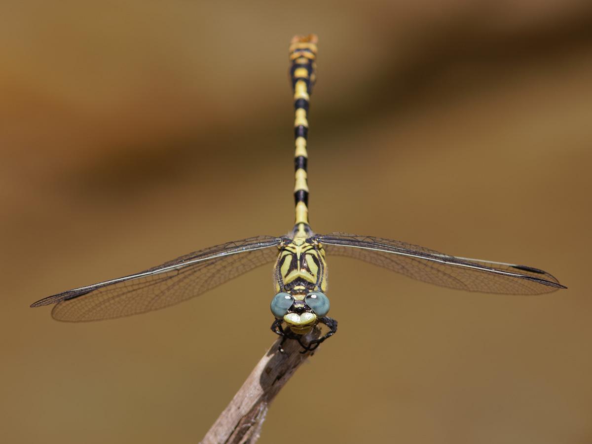 Onychogomphus forcipatus unguiculatus, male