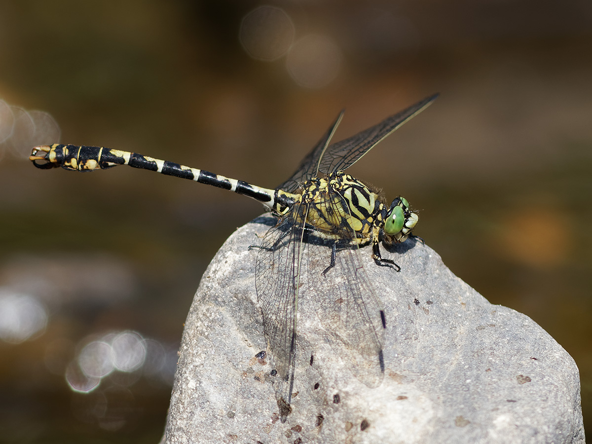 Onychogomphus forcipatus - Small Pincertail