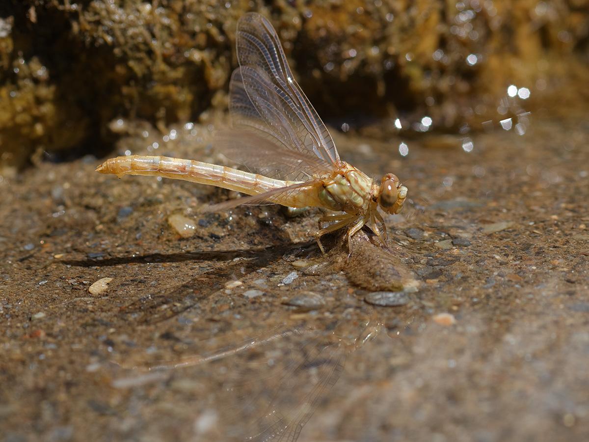 Onychogomphus forcipatus unguiculatus, female emerging
