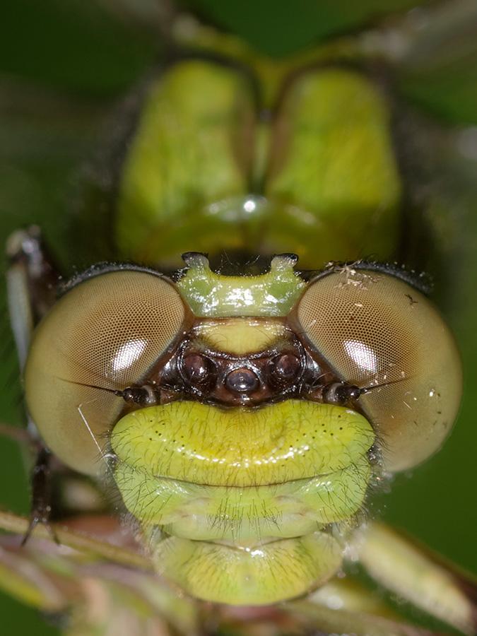 Ophiogomphus cecilia, female
