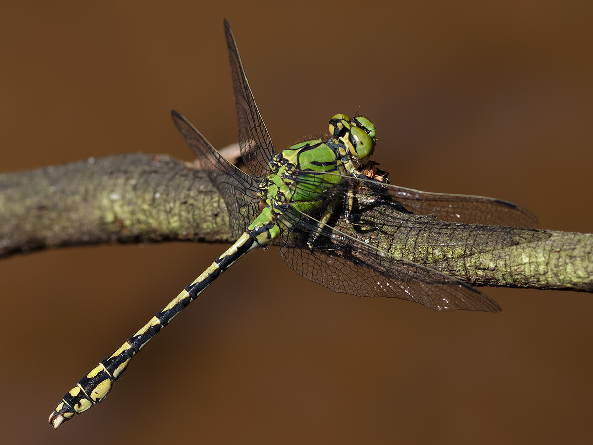 Ophiogomphus cecilia - Green Snaketail