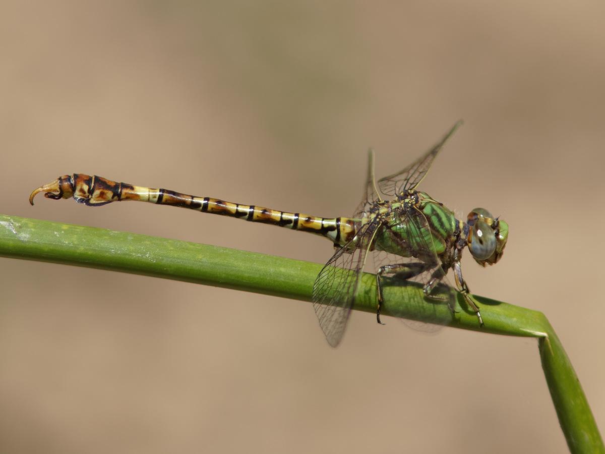 Paragomphus genei, male