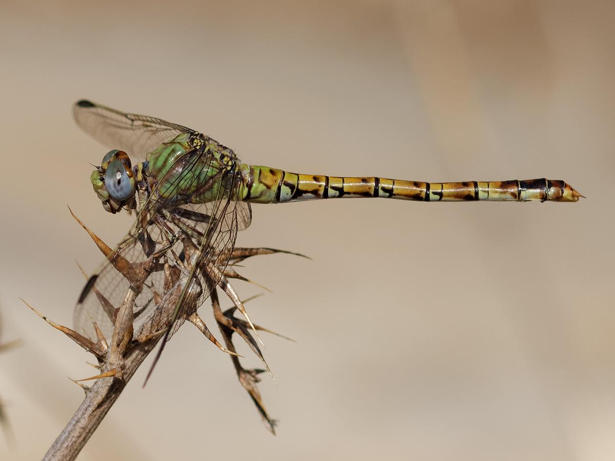 Paragomphus genei, female