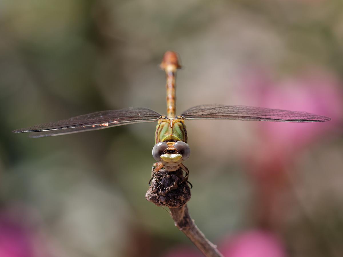 Paragomphus genei, immature male