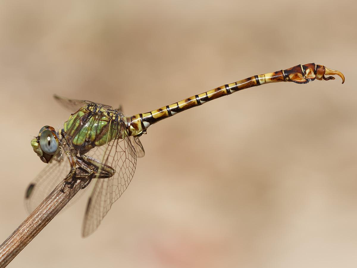 Paragomphus genei - Common Hooktail