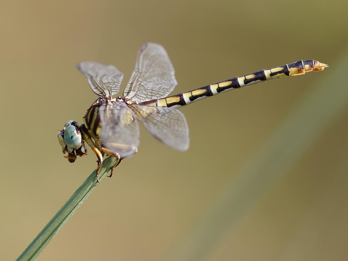 Paragomphus lineata, female