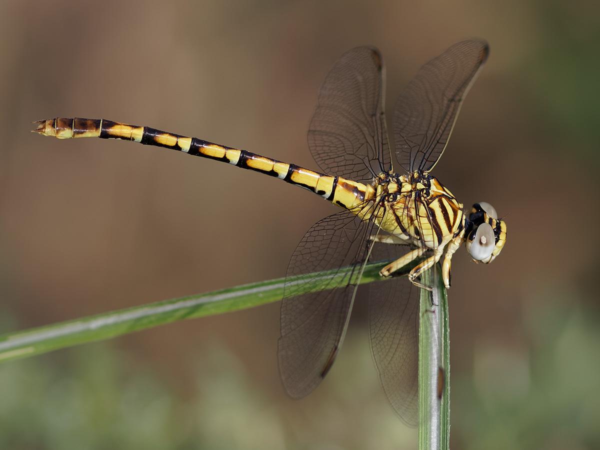 Paragomphus lineata, immature female