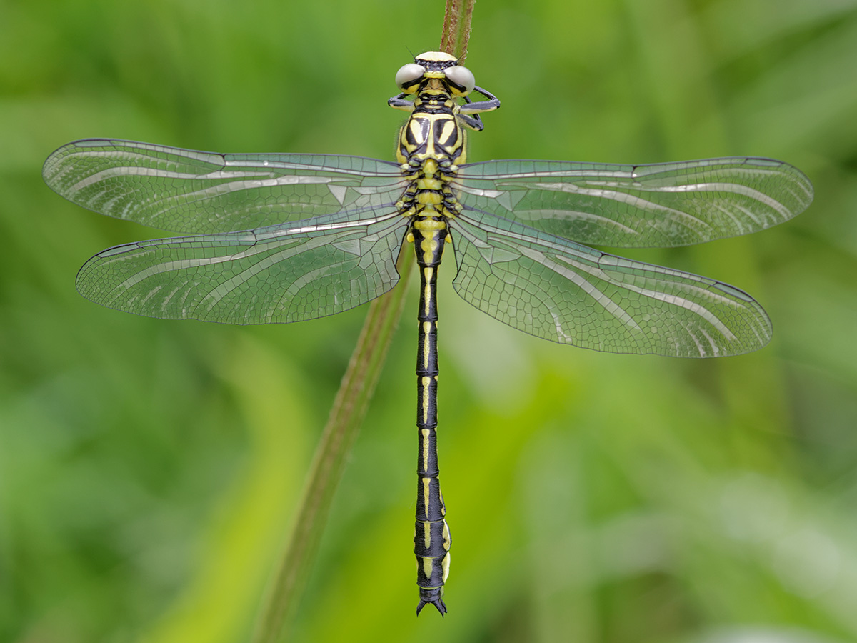 Stylurus flavipes - River Clubtail (previously in Gomphus)