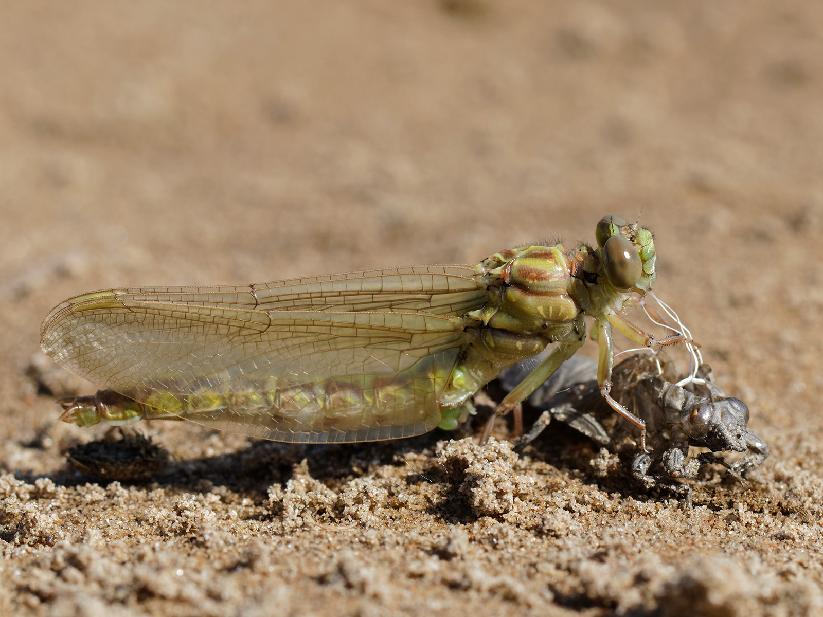 Stylurus flavipes, emerging male