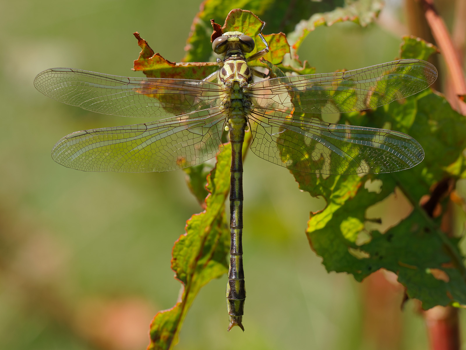 Stylurus flavipes, immature male