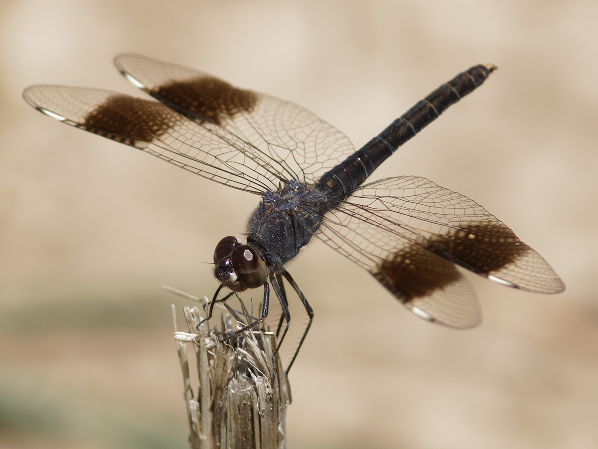 Brachythemis impartita, male
