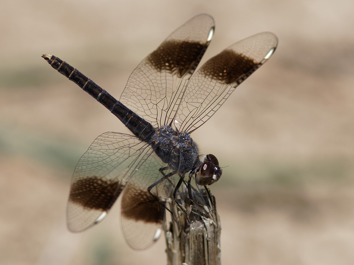 Brachythemis impartita - Northern Banded Groundling