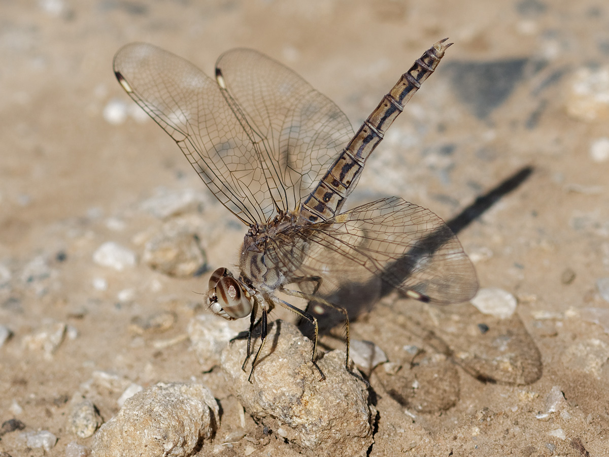 Brachythemis impartita, female