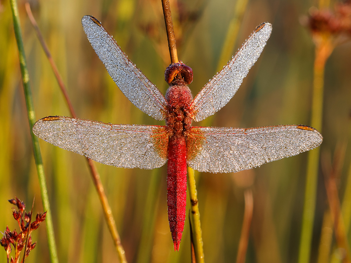 Crocothemis erythraea, male with morning dew