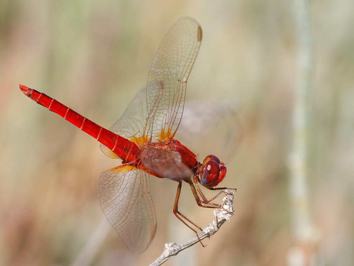 Crocothemis erythraea - Broad Scarlet
