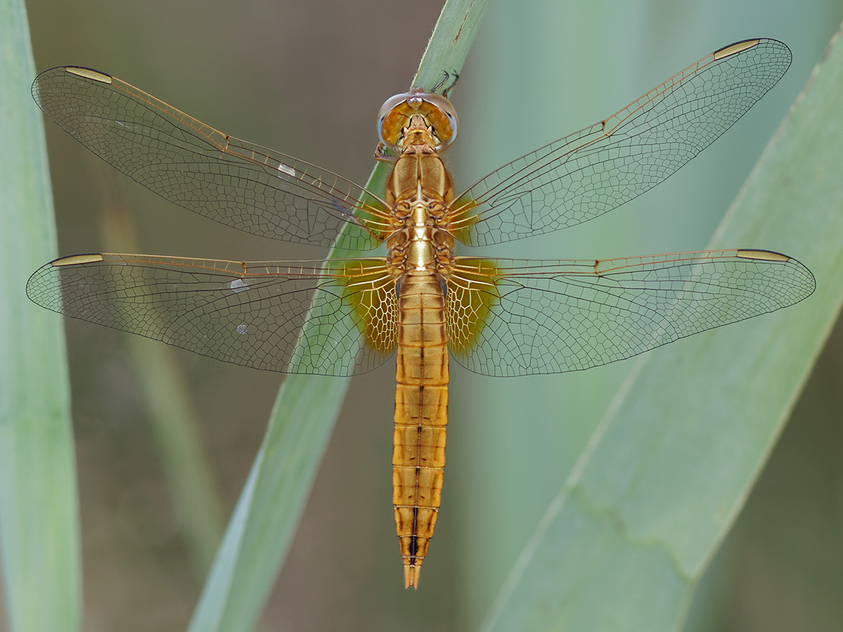 Crocothemis erythraea, immature male
