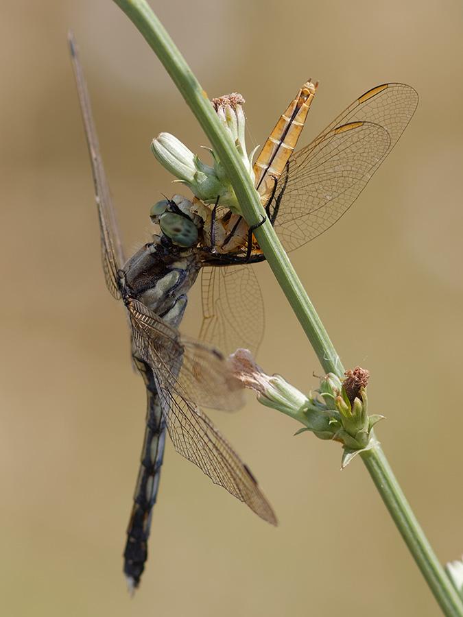 Orthetrum albistylum eats C. erythraea female
