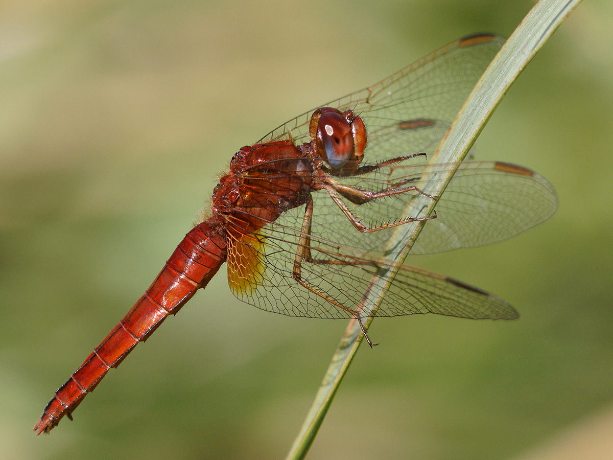 Crocothemis erythraea, androchrome female
