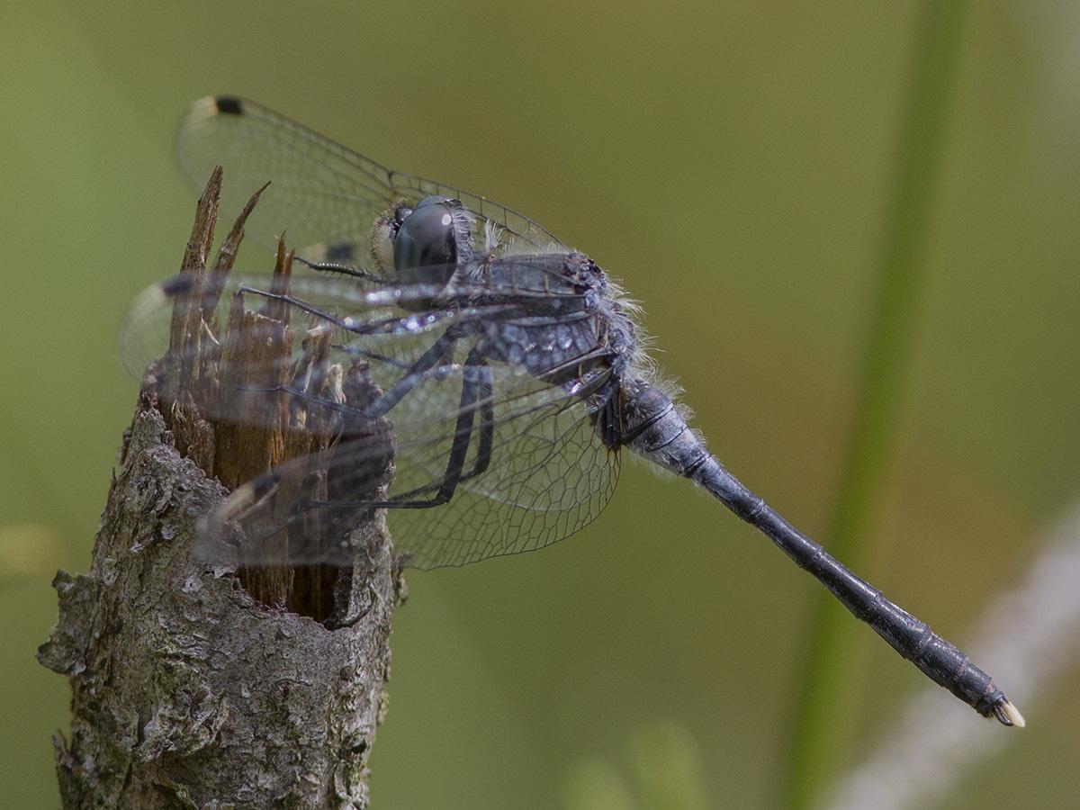 Leucorrhinia albifrons, male