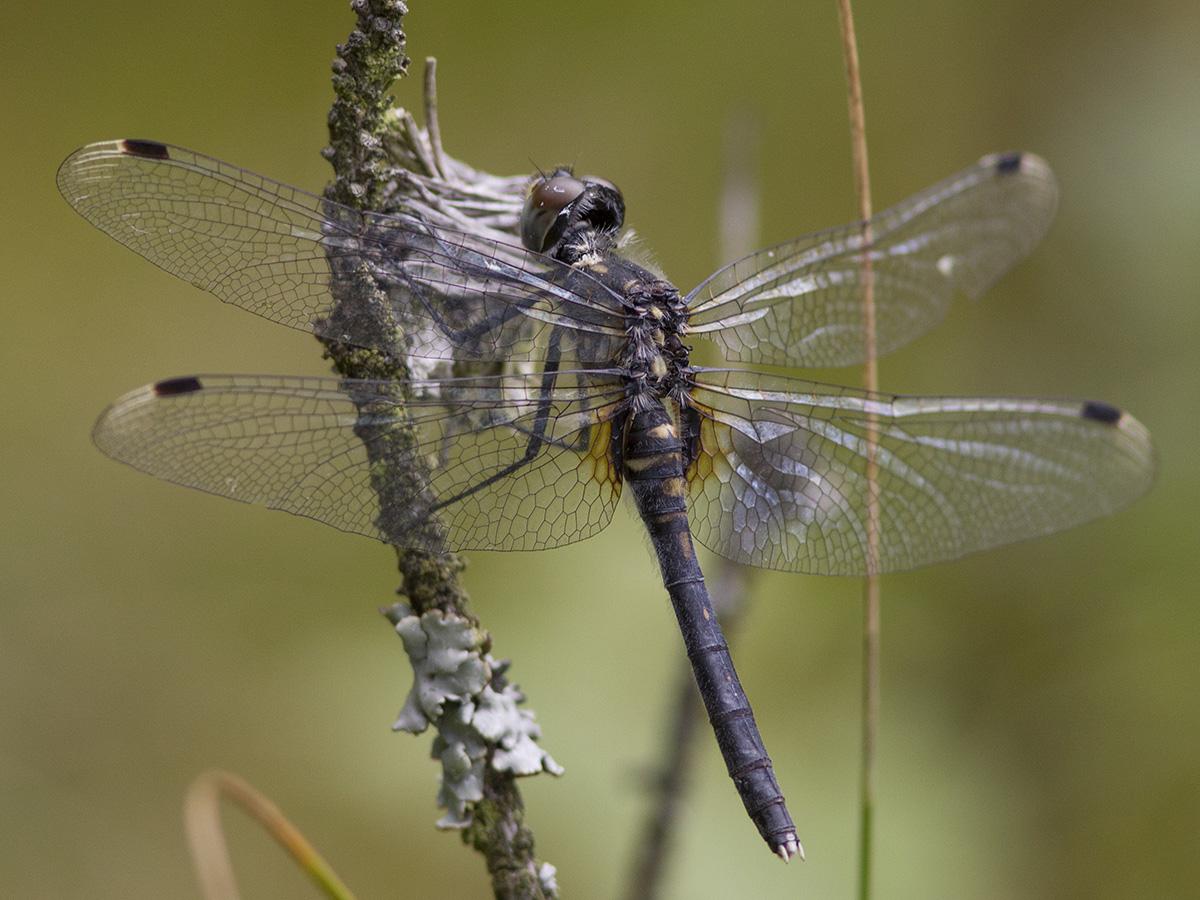 Leucorrhinia albifrons, female