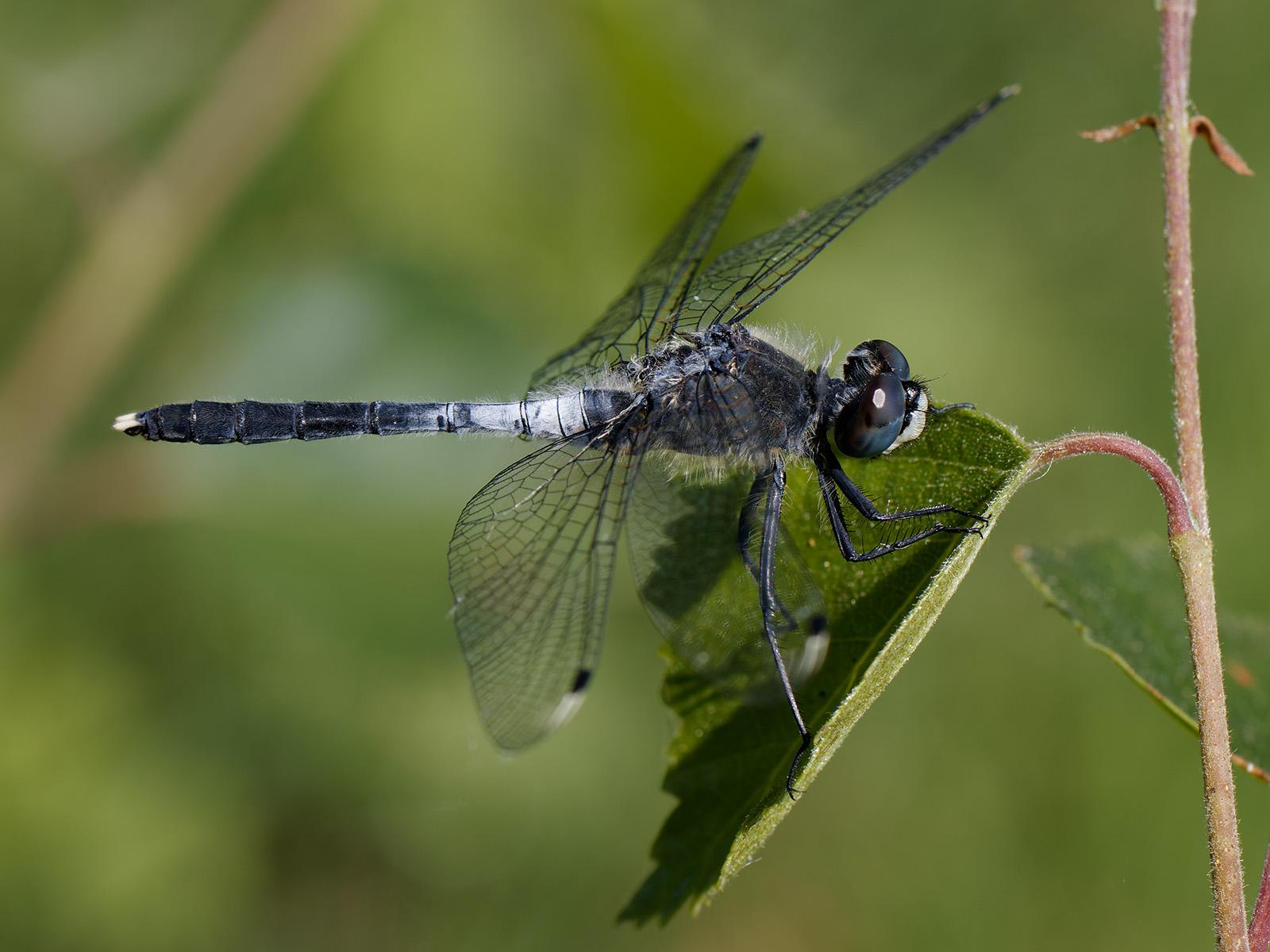 Leucorrhinia albifrons - Dark Whiteface