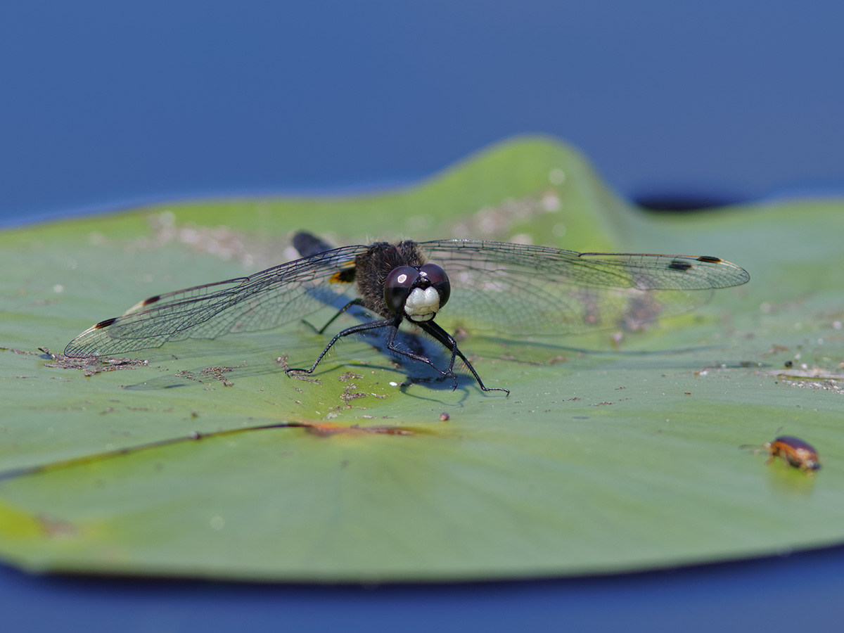 Leucorrhinia caudalis, male