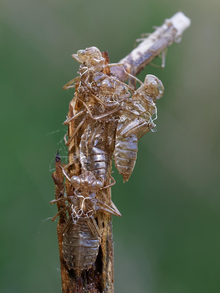Leucorrhinia dubia, exuviae