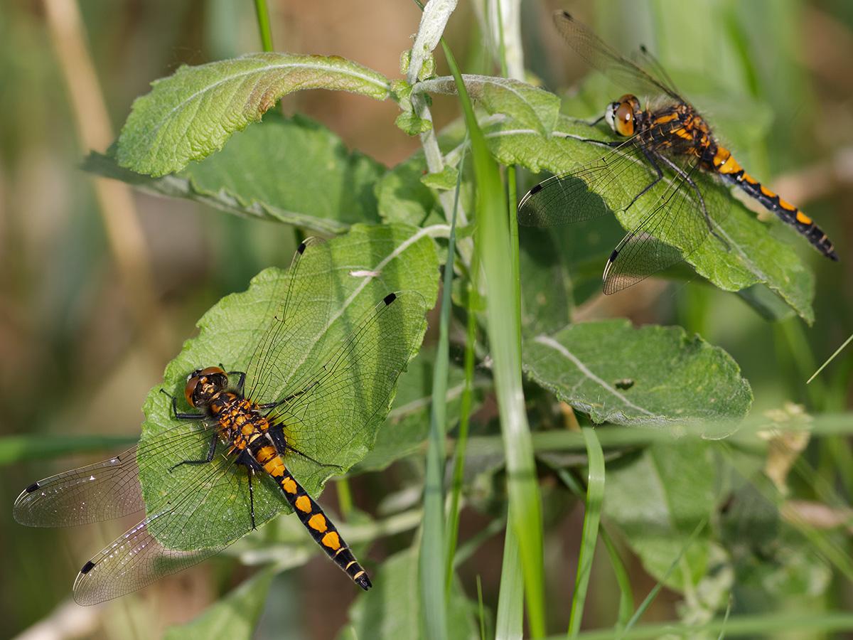 Leucorrhinia pectoralis, immature males