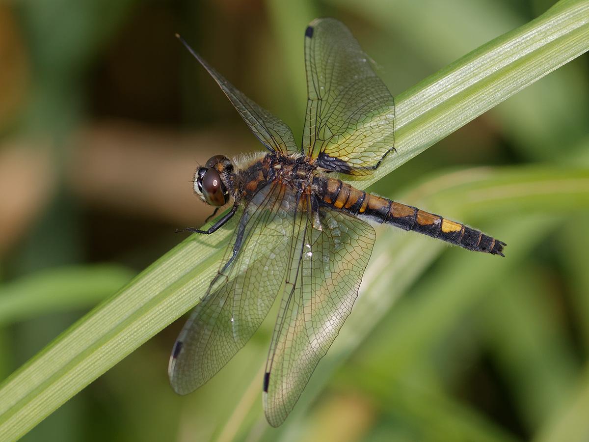 Leucorrhinia pectoralis, female