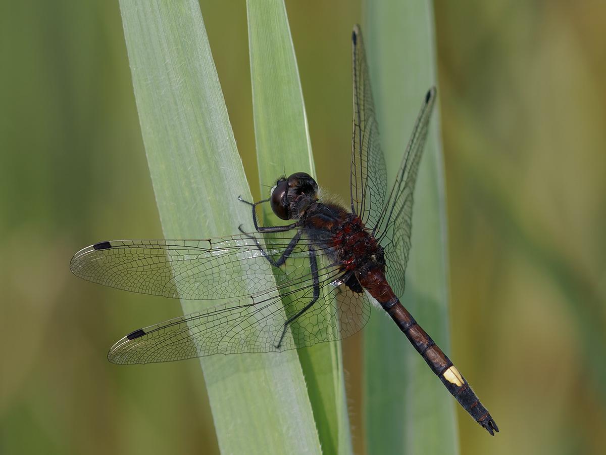 Leucorrhinia pectoralis, male