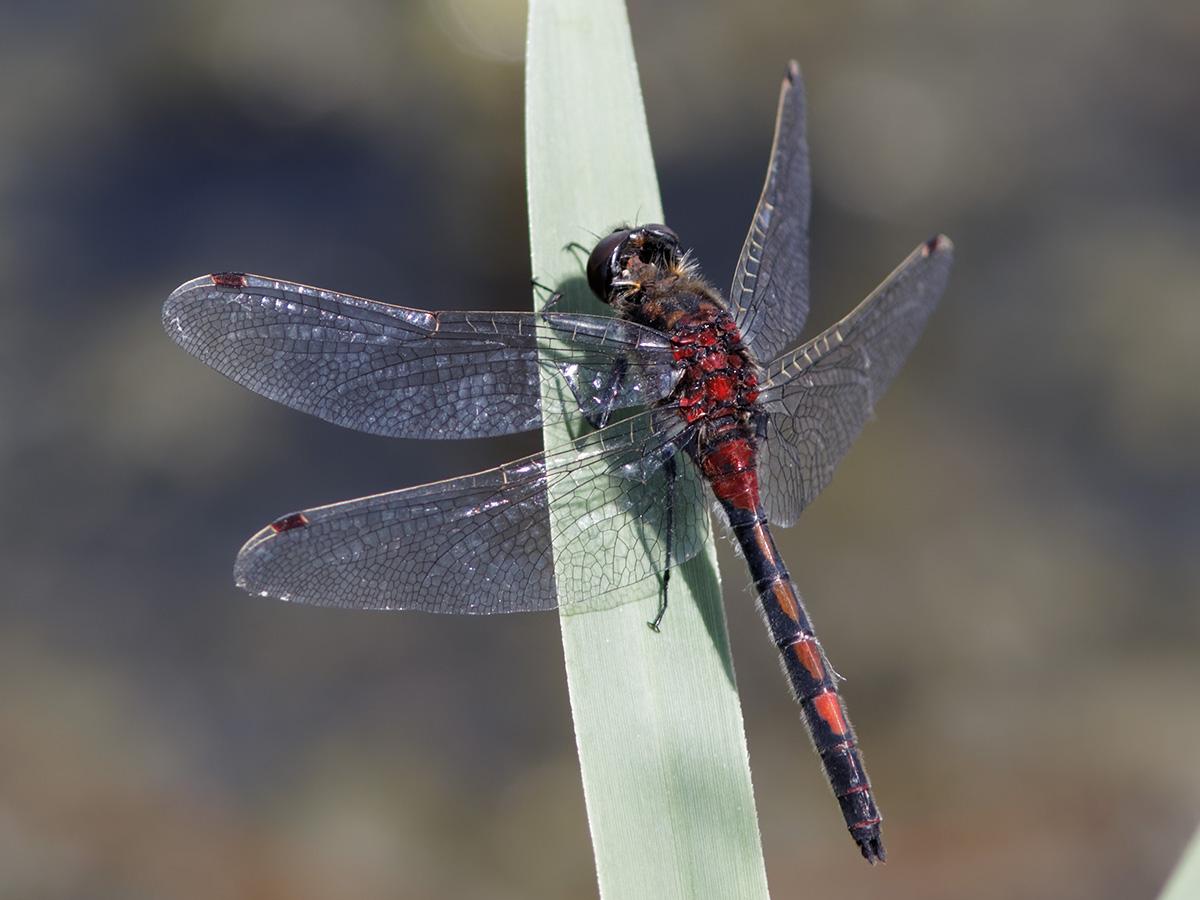 Leucorrhinia rubicunda, male