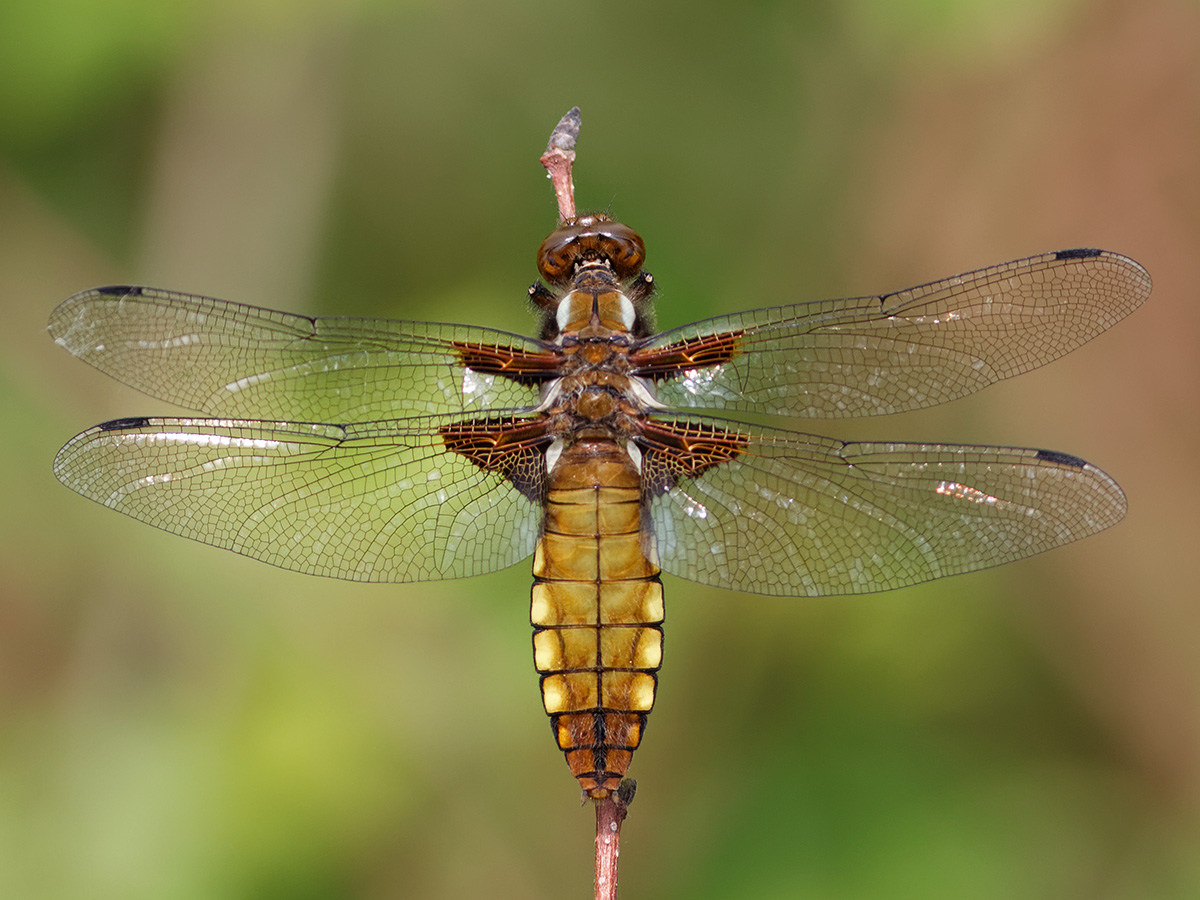 Libellula depressa, immature female