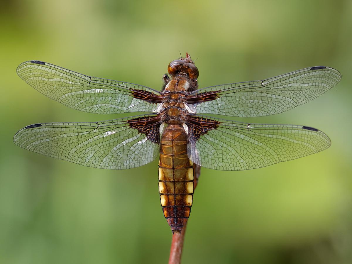 Libellula depressa, female