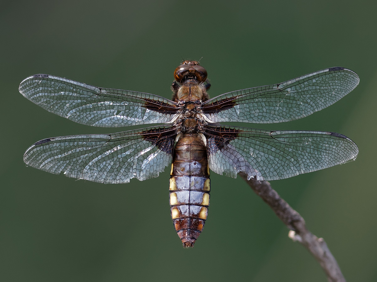 Libellula depressa, old female