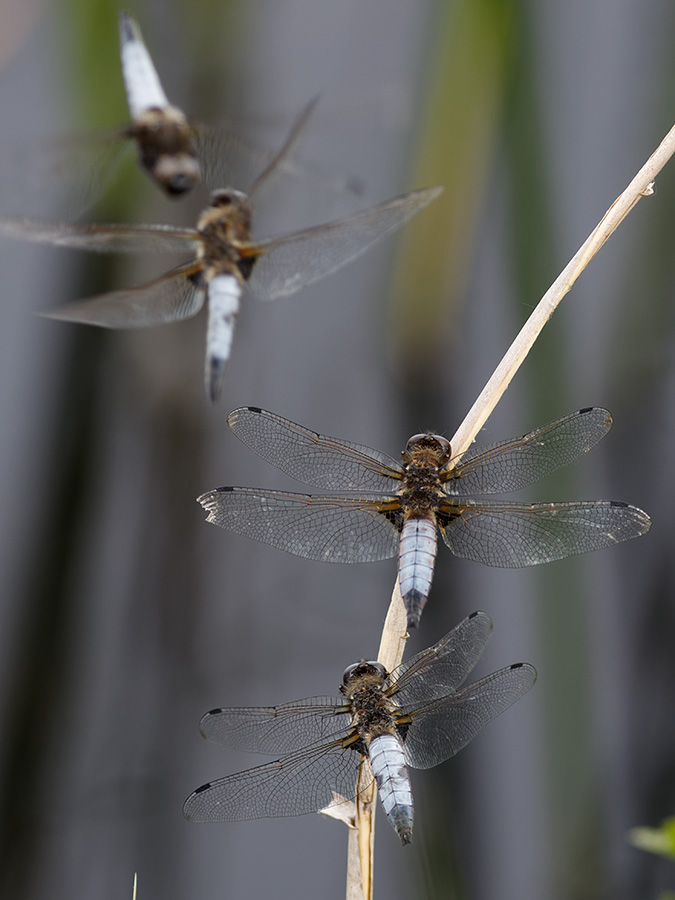 Libellula fulva, males fighting