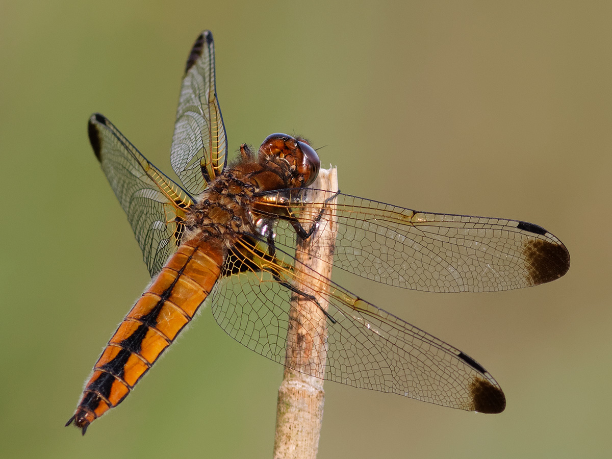 Libellula fulva, immature female