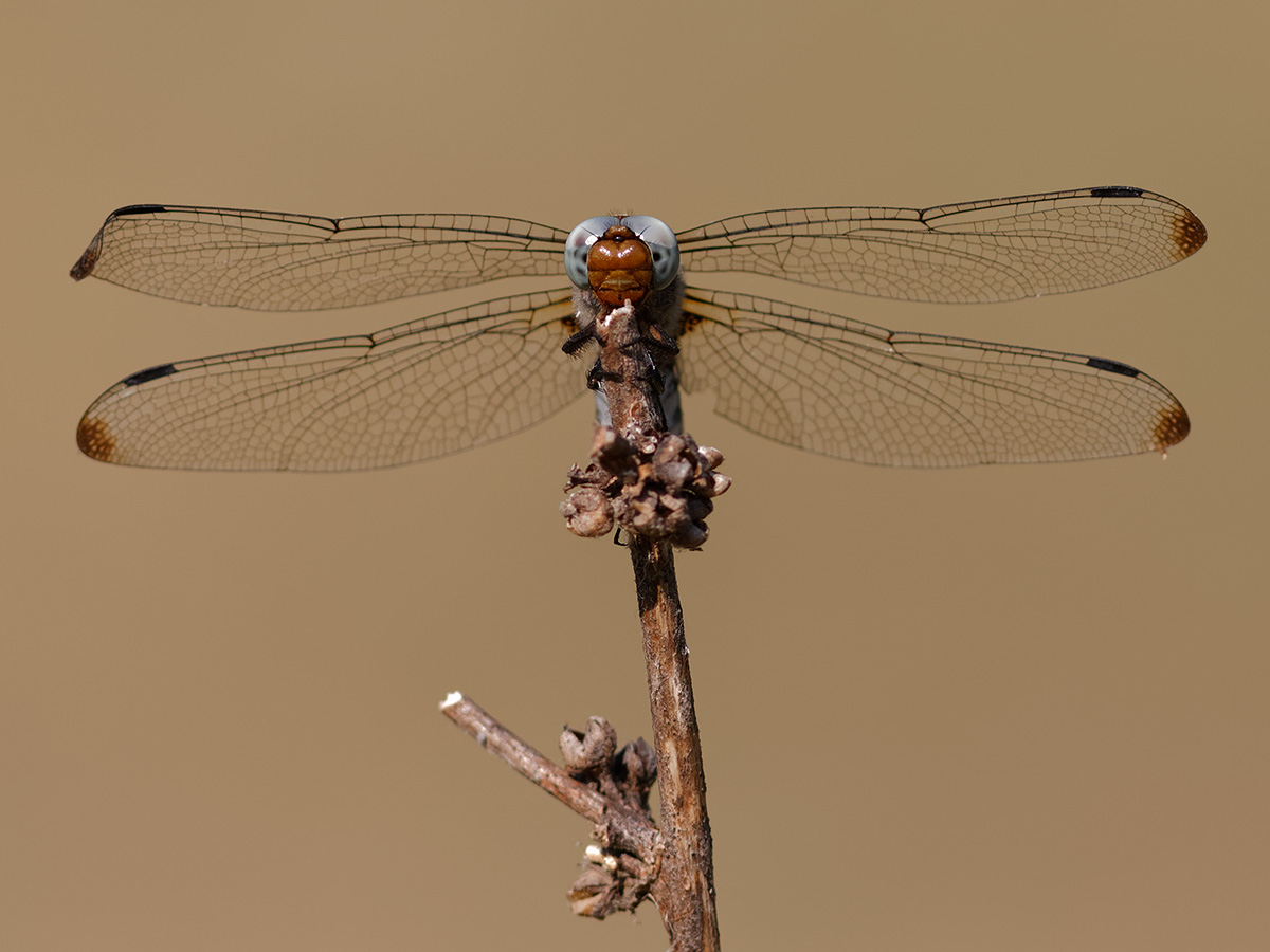 Libellula fulva, female