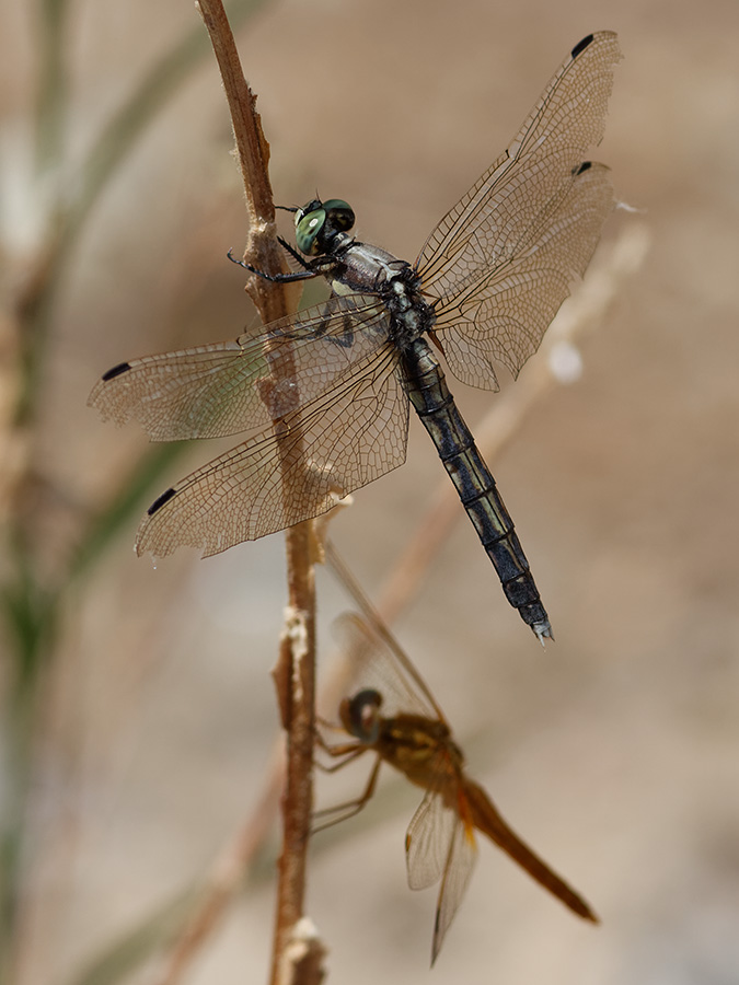 Orthetrum albistylum and Crocothemis erythraea
