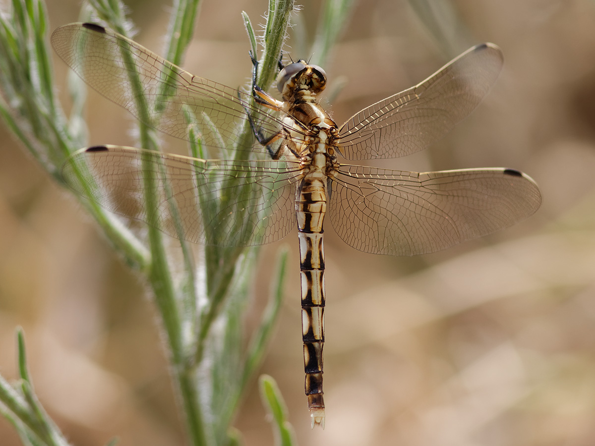 Orthetrum albistylum, immature female