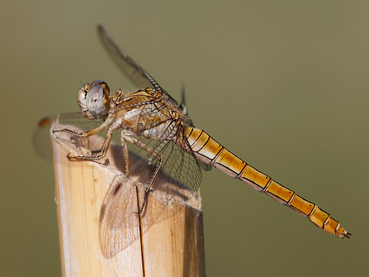 Orthetrum brunneum, fresh female