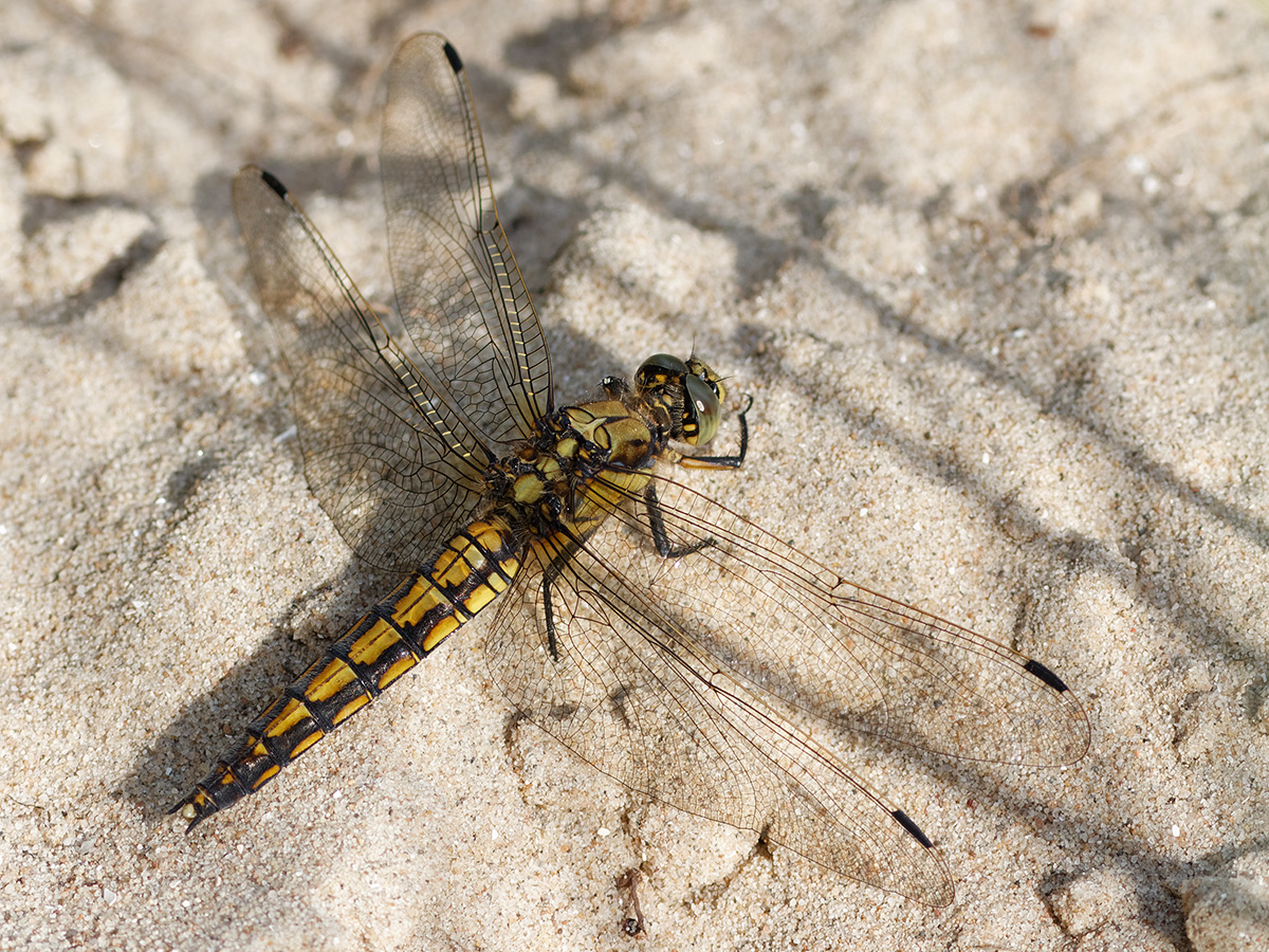 Orthetrum cancellatum, female