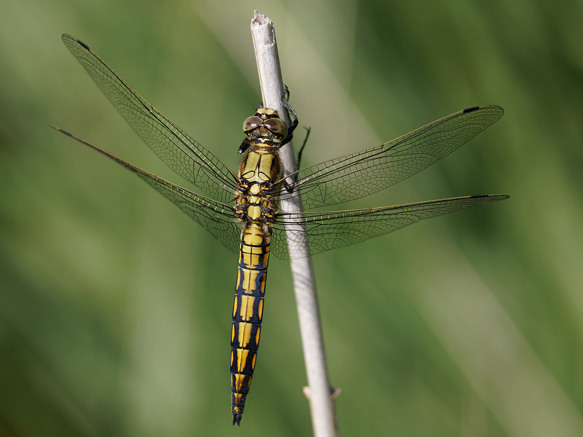 Orthetrum cancellatum, immature male