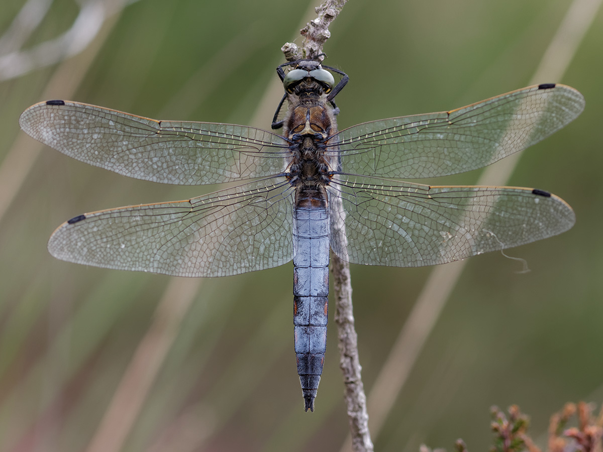 Orthetrum cancellatum, male