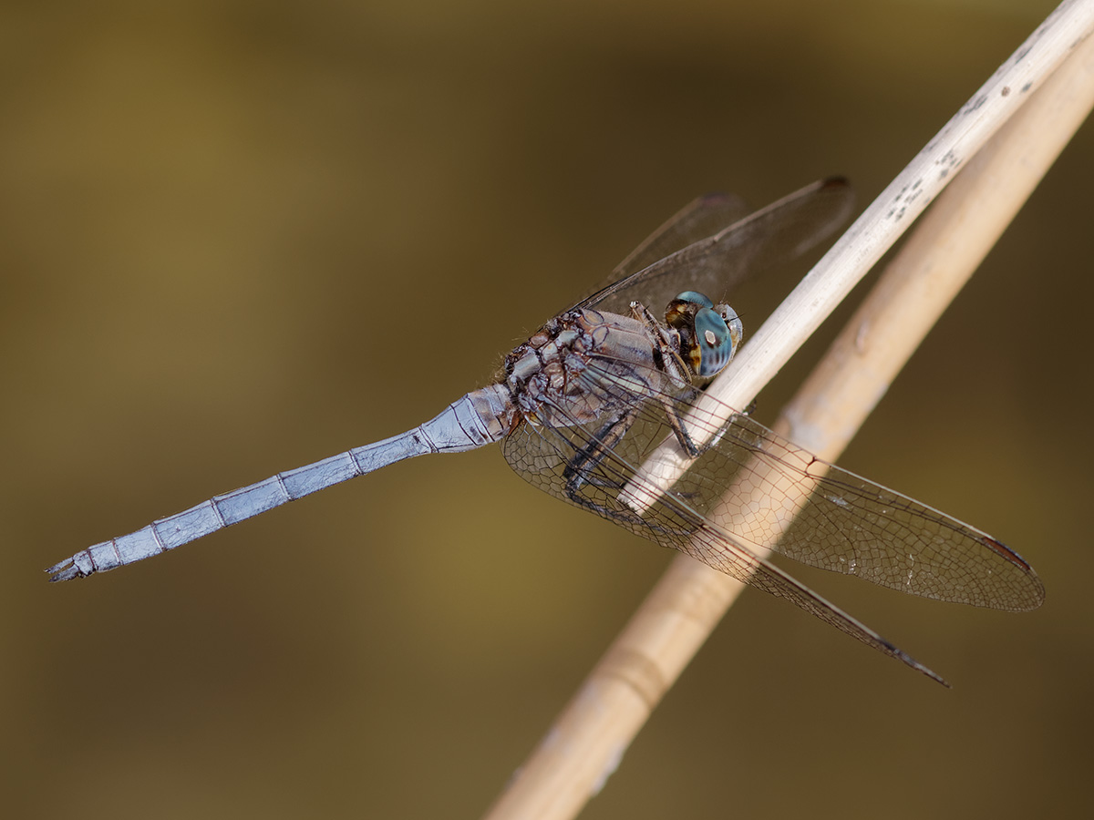 Orthetrum chrysostigma, male