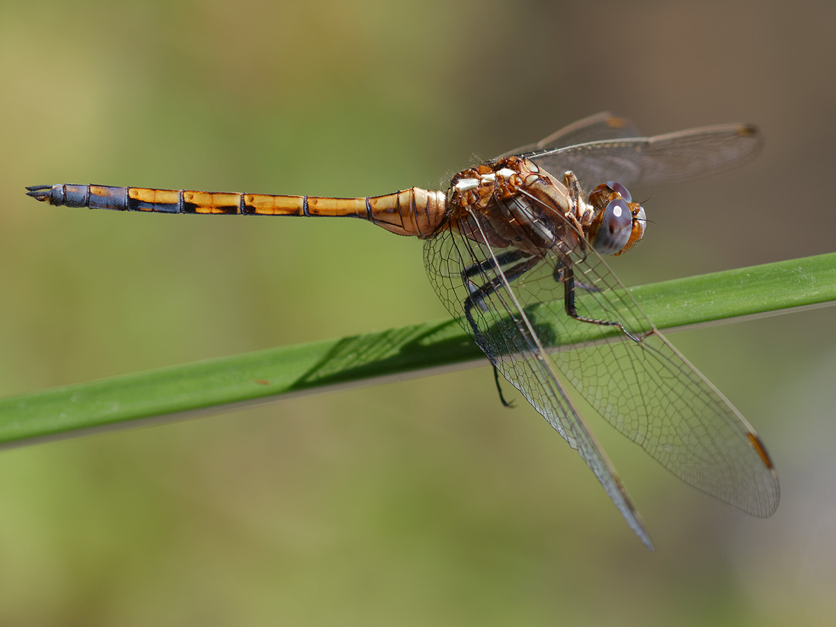 Orthetrum chrysostigma, immature male