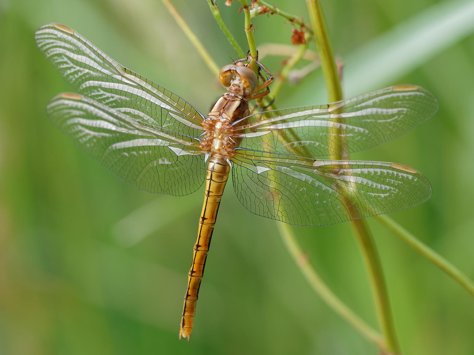 Orthetrum coerulescens, teneral female