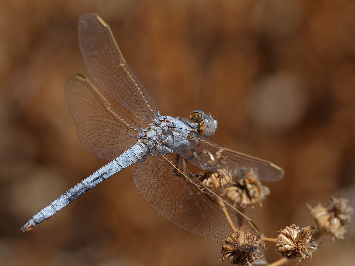 Orthetrum nitidinerve - Yellow-veined Skimmer