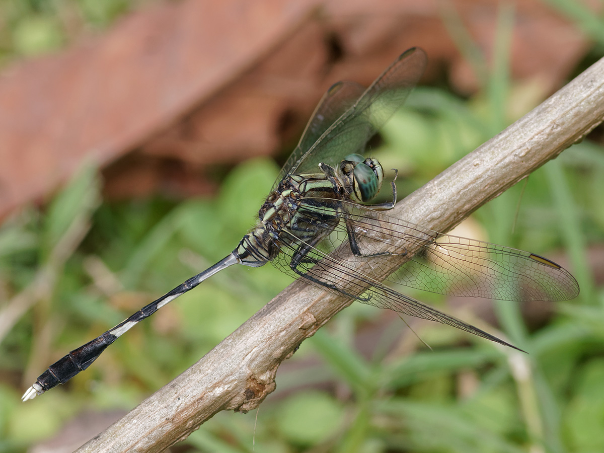 Orthetrum sabina, male