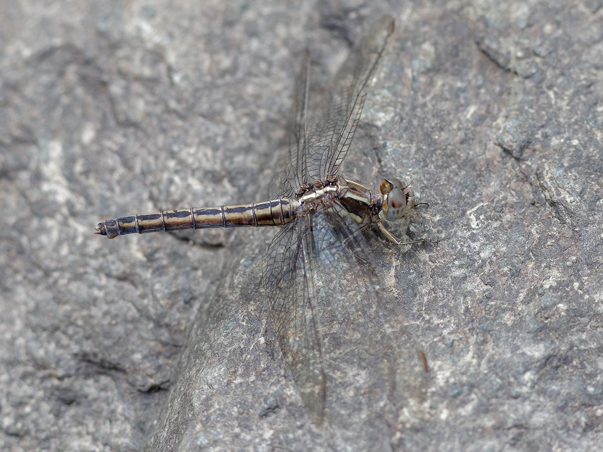 Orthetrum taeniolatum, female