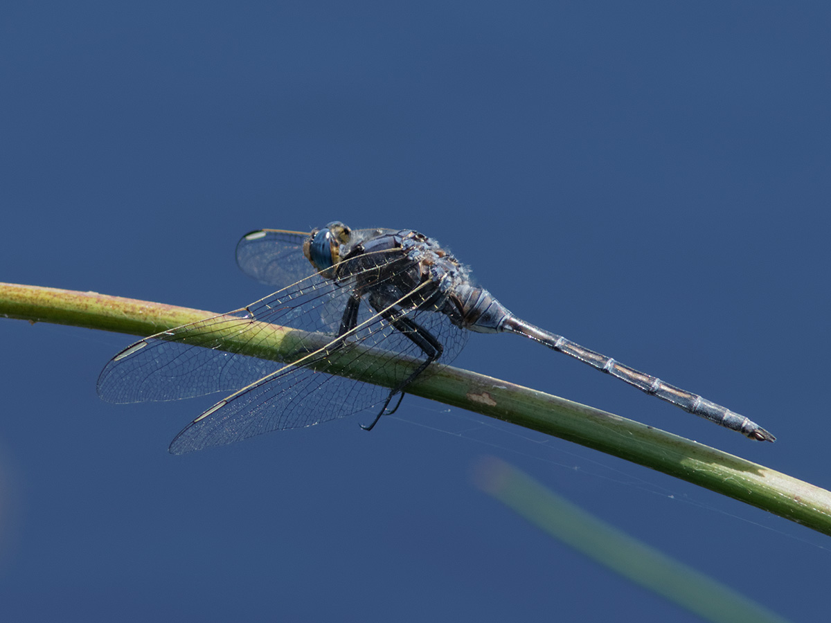 Orthetrum trinacria, male